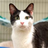 Domestic Shorthair/Domestic Shorthair Mix Cat for adoption in Richmond, Virginia - Yondu