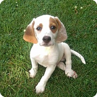 Adopt A Pet :: Norby - ST LOUIS, MO