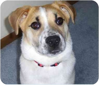 Beagle/Terrier (Unknown Type, Small) Mix Puppy for adoption in Columbus, Ohio - BAXTER