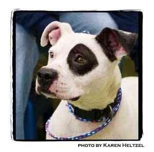 Pit Bull Terrier Dog for adoption in Warren, Pennsylvania - Cash