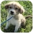Photo 1 - Australian Shepherd Mix Puppy for adoption in New Fairfield, Connecticut - Cash