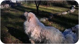 Great Pyrenees Dog for adoption in Wayne, New Jersey - ASPEN