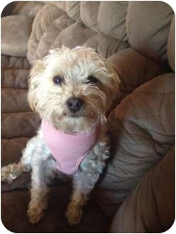 Terrier (Unknown Type, Small)/Poodle (Miniature) Mix Dog for adoption in Oceanside, California - Stella
