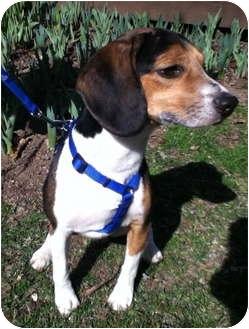Beagle Mix Dog for adoption in Worcester, Massachusetts - Dexter