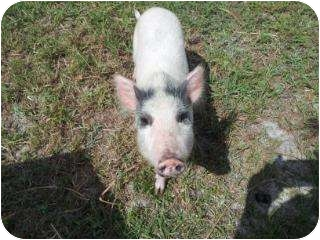 Pig (Potbellied) for adoption in Palm City, Florida - Claire