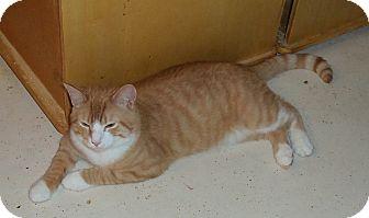 Domestic Shorthair Cat for adoption in Catasauqua, Pennsylvania - Sundance Kid
