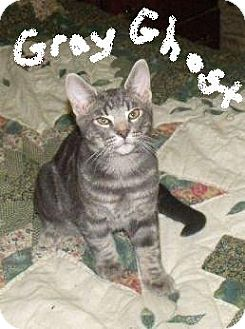 Domestic Shorthair Kitten for adoption in Huntsville, Ontario - Gray Ghost - Born in May!