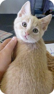 Domestic Shorthair Kitten for adoption in Quincy, California - Bacardi