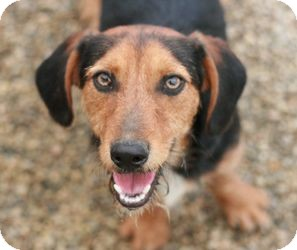 Dachshund/Wirehaired Fox Terrier Mix Puppy for adoption in Canoga Park, California - Dylan
