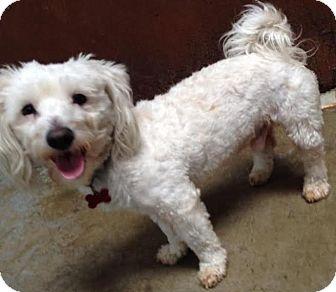 Maltese/Poodle (Miniature) Mix Dog for adoption in Encino, California - Jones