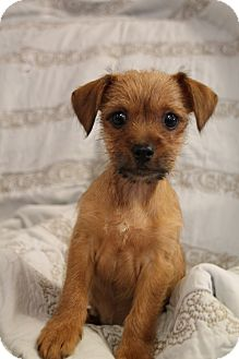 Yorkie, Yorkshire Terrier/Chihuahua Mix Puppy for adoption in Knoxville, Tennessee - Buster