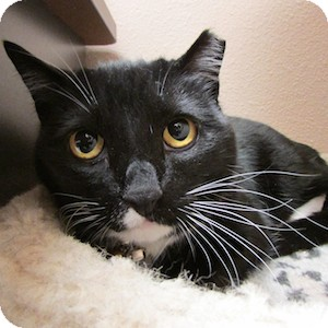 Domestic Shorthair Cat for adoption in Gilbert, Arizona - Mittens