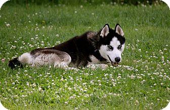 Siberian Husky Dog for adoption in Sycamore, Illinois - Mojo