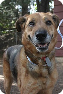 Shepherd (Unknown Type) Mix Dog for adoption in Grass Valley, California - Dusty