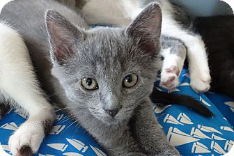 Domestic Shorthair Kitten for adoption in Elyria, Ohio - Joey