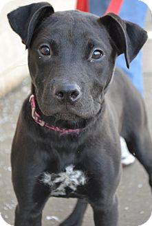 Labrador Retriever/Rottweiler Mix Puppy for adoption in Toledo, Ohio - Zoey Puppy