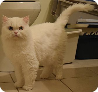 Persian Cat for adoption in Toronto/GTA, Ontario - Athena