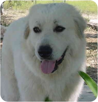 Great Pyrenees Mix Dog for adoption in Kyle, Texas - Jacque-O