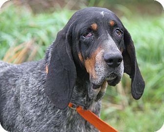 Bluetick Coonhound Mix Dog for adoption in Marietta, Ohio - Lucille (Spayed)