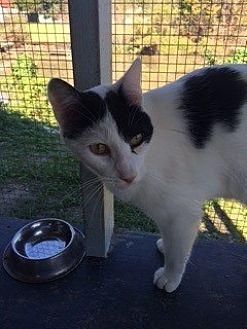 Domestic Shorthair Cat for adoption in Thibodaux, Louisiana - Ozzmo FE1-9195