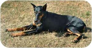 Doberman Pinscher/Doberman Pinscher Mix Dog for adoption in New Orleans, Louisiana - Breezy