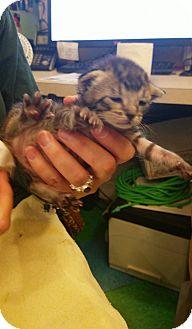 Domestic Shorthair Kitten for adoption in Dallas, Texas - Geneva