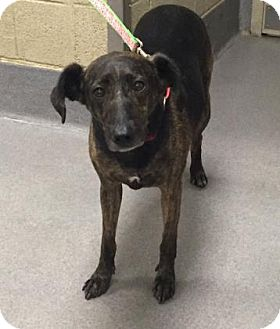 Mountain Cur/Greyhound Mix Dog for adoption in Parma, Ohio - Kiwi