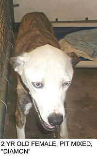 Catahoula Leopard Dog Mix Dog for adoption in Staunton, Virginia - Diamon