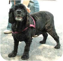 Cocker Spaniel Dog for adoption in Milton, Massachusetts - Liberty