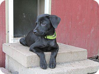 Whippet/Miniature Pinscher Mix Puppy for adoption in Pennigton, New Jersey - Ruth Bader