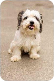 Lhasa Apso/Shih Tzu Mix Dog for adoption in Portland, Oregon - Reggie