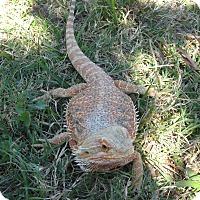 Adopt A Pet :: Muffit (Bearded Dragon) - Christmas, FL