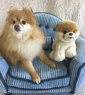 Pomeranian Dog for adoption in Dallas, Texas - Curry
