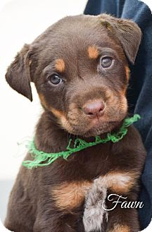 Mixed Breed (Medium)/Rottweiler Mix Puppy for adoption in DFW, Texas - Fawn