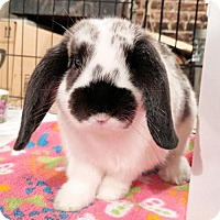 Lop-Eared for adoption in Newtown Square, Pennsylvania - James