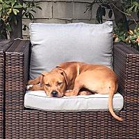 Adopt A Pet :: ZZ-Gilligan *courtesy post - Rancho Santa Margarita, CA