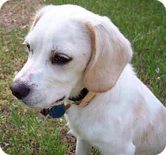 Beagle Mix Puppy for adoption in Guthrie, Oklahoma - Buster