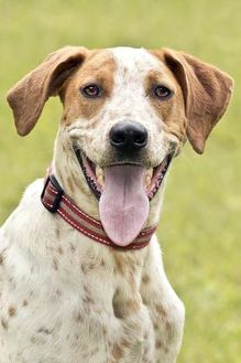 Pointer Mix Dog for adoption in Cashiers, North Carolina - Luther