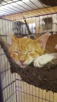 Domestic Shorthair/Domestic Shorthair Mix Cat for adoption in Livingston, Texas - Martin