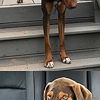 Adopt A Pet :: Felina - Chantilly, VA