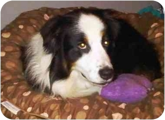 Australian Shepherd Dog for adoption in Orlando, Florida - Bowden