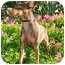 Photo 3 - Miniature Pinscher Dog for adoption in San Clemente, California - Jaegar