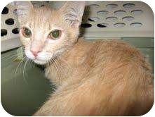Domestic Shorthair Cat for adoption in Phoenix, Arizona - Jake