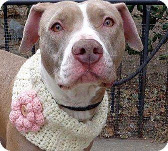American Pit Bull Terrier Mix Dog for adoption in Roaring Spring, Pennsylvania - Hazel