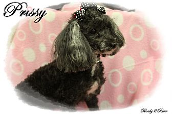 Miniature Poodle Dog for adoption in Rockwall, Texas - Prissy