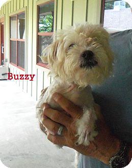 Poodle (Standard)/Pekingese Mix Dog for adoption in Slidell, Louisiana - Buzzy