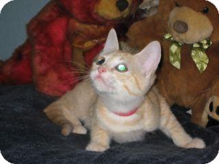 Domestic Shorthair Kitten for adoption in Bulverde, Texas - Nala