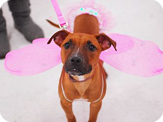 American Pit Bull Terrier/Boxer Mix Dog for adoption in Detroit, Michigan - Athena-Adopted!
