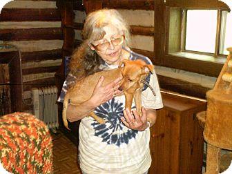 Dachshund Mix Puppy for adoption in Evensville, Tennessee - Lanie