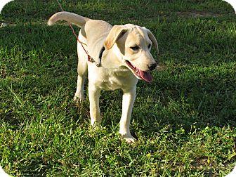 Labrador Retriever Mix Puppy for adoption in Bedminster, New Jersey - Sabrina